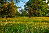 MORTON HALL GARDENS, WORCESTERSHIRE: SPRING, MAY, THE MEADOW, DRIVE, LANDSCAPE, WILDFLOWERS, BUTTERCUPS, RANUNCULUS REPENS, YELLOW FLOWERS, BLOOMING, BLOOMS