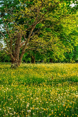 MORTON_HALL_GARDENS_WORCESTERSHIRE_SPRING_MAY_THE_MEADOW_DRIVE_LANDSCAPE_WILDFLOWERS_BUTTERCUPS_RANU
