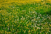MORTON HALL GARDENS, WORCESTERSHIRE: SPRING, MAY, THE MEADOW, DRIVE, LANDSCAPE, WILDFLOWERS, BUTTERCUPS, RANUNCULUS REPENS, YELLOW FLOWERS, BLOOMING, BLOOMS, DANDELIONS