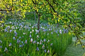 BRYANS GROUND, HEREFORDSHIRE: THE ORCHARD IN LATE SPRING WITH APPLE TREES AND BLUE FLOWERS OF IRIS SIBIRICA PAPILLON - SPRING, COUNTRY GARDEN, FLOWERING, GRASS