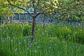 BRYANS GROUND, HEREFORDSHIRE: THE ORCHARD IN LATE SPRING WITH APPLE TREES AND BLUE FLOWERS OF IRIS SIBIRICA PAPILLON - SPRING, COUNTRY GARDEN, FLOWERING, GRASS, GREENHOUSE