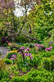 THE PICTON GARDEN AND OLD COURT NURSERIES, WORCESTERSHIRE: BORDER, MAY, SPRING, IRIS AUTUMN MARIPOSA,  ALLIUM UNIVERSE, BULBS, YELLOW, PURPLE, FLOWERS