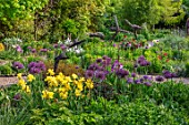 THE PICTON GARDEN AND OLD COURT NURSERIES, WORCESTERSHIRE: BORDER, MAY, SPRING, IRIS GOLDEN IMMORTAL, IRIS AUTUMN MARIPOSA,  ALLIUM UNIVERSE, BULBS, YELLOW, PURPLE, FLOWERS