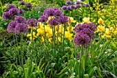 THE PICTON GARDEN AND OLD COURT NURSERIES, WORCESTERSHIRE: BORDER, MAY, SPRING, IRIS GOLDEN IMMORTAL, ALLIUM UNIVERSE, BULBS, YELLOW, PURPLE, FLOWERS