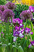 THE PICTON GARDEN AND OLD COURT NURSERIES, WORCESTERSHIRE: BORDER, MAY, SPRING, IRIS GOLDEN IMMORTAL, ALLIUM UNIVERSE, BULBS, PURPLE, FLOWERS, BLOOMS, BLOOMING, FLOWERING