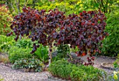THE PICTON GARDEN AND OLD COURT NURSERIES, WORCESTERSHIRE: SPRING, MAY, CORYLUS AVELLANA SSP CONTORTA RED MAJESTIC. SHRUBS, TREES