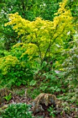 THE PICTON GARDEN AND OLD COURT NURSERIES, WORCESTERSHIRE: YELLOW FOLIAGE, LEAVES OF ACER PALMATUM ORANGE DREAM, WOODLAND, SHADE, SHADY, MAY, SPRING, TREES