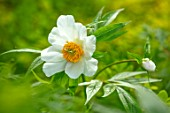THE PICTON GARDEN AND OLD COURT NURSERIES, WORCESTERSHIRE: CLOSE UP OF WHITE FLOWERS OF PEONY, PAEONIA EMODI, PEONIES, PERENNIALS, MAY, SPRING