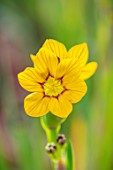 THE PICTON GARDEN AND OLD COURT NURSERIES, WORCESTERSHIRE: CLOSE UP OF YELLOW, FLOWERS OF SISYRINCHIUM ELMERI, MAY, SPRING