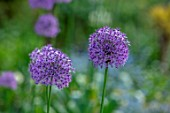 THE PICTON GARDEN AND OLD COURT NURSERIES, WORCESTERSHIRE: CLOSE UP OF ALLIUMS IN THE BORDER, BULB, PURPLE, FLOWERS, BLOOMS, BLOOMING, FLOWERING, MAY, SPRING