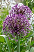 THE PICTON GARDEN AND OLD COURT NURSERIES, WORCESTERSHIRE: CLOSE UP OF PURPLE FLOWERS OF ALLIUM UNIVERSE, MAY, SPRING, BULBS, FLOWERING, BLOOMING