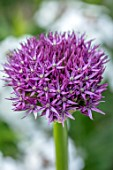 THE PICTON GARDEN AND OLD COURT NURSERIES, WORCESTERSHIRE: CLOSE UP OF PURPLE FLOWERS OF ALLIUM BEAU REGARD, MAY, SPRING, BULBS, FLOWERING, BLOOMING