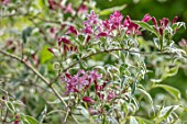 THE PICTON GARDEN AND OLD COURT NURSERIES, WORCESTERSHIRE: CLOSE UP OF PINK FLOWERS OF WEIGELA FLORIDA VARIEGATA, MAY, SPRING, SHRUBS, FLOWERING, BLOOMING, DECIDUOUS