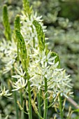 THE PICTON GARDEN AND OLD COURT NURSERIES, WORCESTERSHIRE: PALE YELLOW, CREAM, FLOWERS, CAMASSIA LEICHTLINII SACAJAWEA, MAY, SPRING, SHRUBS, FLOWERING, BLOOMING, DECIDUOUS, QUAMASH