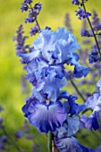 MORTON HALL GARDENS, WORCESTERSHIRE: SPRING, MAY, BLUE, PURPLE, FLOWERS OF TALL BEARDED IRIS, FLOWERING, BLOOMS, BLOOMING