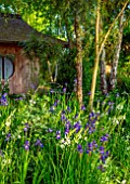 MORTON HALL GARDENS, WORCESTERSHIRE: STROLL GARDEN, JAPANESE TEA HOUSE, BORDER WITH CAMASSIA LEICHTLINII ALBA, BLUE FLOWERS OF SIBERIAN IRIS SIBIRICA TROPIC NIGHT, BULBS, MAY
