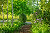MORTON HALL GARDENS, WORCESTERSHIRE: STROLL GARDEN, BIRCH TREES, PATH, BORDER WITH BLUE FLOWERS OF IRIS SIBIRICA TROPIC NIGHT, BULBS, SPRING, MAY, SIBERIAN