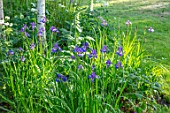 MORTON HALL GARDENS, WORCESTERSHIRE: BORDER WITH BLUE, PURPLE FLOWERS OF IRIS SIBIRICA TROPIC NIGHT, BULBS, SPRING, MAY, BIRCH TREES, LAWNS