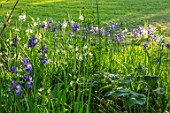 MORTON HALL GARDENS, WORCESTERSHIRE: BORDER WITH CAMASSIA LEICHTLINII ALBA, BLUE FLOWERS OF SIBERIAN IRIS SIBIRICA TROPIC NIGHT, BULBS, MAY