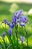 MORTON HALL GARDENS, WORCESTERSHIRE: CLOSE UP OF DARK BLUE FLOWERS OF IRIS SIBIRICA TROPIC NIGHT, BULBS, SPRING, MAY, PERENNIALS