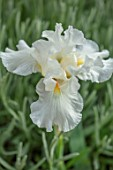 MORTON HALL GARDENS, WORCESTERSHIRE: SPRING, MAY, WHITE FLOWERS OF TALL BEARDED IRIS AMELIA BEDELIA, FLOWERING, BLOOMS, BLOOMING