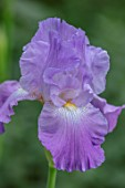 MORTON HALL GARDENS, WORCESTERSHIRE: SPRING, MAY, PALE, PURPLE FLOWERS OF TALL BEARDED IRIS ANNABEL JANE, FLOWERING, BLOOMS, BLOOMING