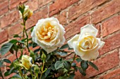 MORTON HALL, WORCESTERSHIRE: CLOSE UP PLANT PORTRAIT OF PALE YELLOW, PEACH, CREAMY, LEMON, FLOWERS OF ROSE, ROSA CREME DE LA CREME, ROSES, CLIMBING, WALLS, FLOWERING, BLOOMING