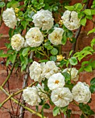 MORTON HALL, WORCESTERSHIRE: CLOSE UP PLANT PORTRAIT OF PALE YELLOW, CREAMY, WHITE, FLOWERS OF ROSE, ROSA CLARENCE HOUSE, ROSES, CLIMBING, WALLS, FLOWERING, BLOOMING, SHRUBS