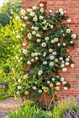 MORTON HALL, WORCESTERSHIRE: WEST GARDEN, EVENING, HOUSE, WALLS, ROSES, ROSA CREME DE LA CREME, COUNTRY, GARDEN, ENGLISH, CLASSIC, YELLOW