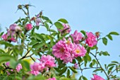 MORTON HALL GARDENS, WORCESTERSHIRE: CLOSE UP OF PINK FLOWERS OF ROSE - ROSA POMIFERA, SYN ROSA VILLOSA DUPLEX, CLIMBING, SPRING, MAY