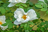 MORTON HALL GARDENS, WORCESTERSHIRE: CLOSE UP OF WHITE, CREAM, FLOWERS OF ROSE - ROSA NEVADA, CLIMBING, SHRUBS, SPRING, MAY