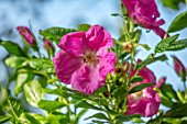MORTON HALL GARDENS, WORCESTERSHIRE: CLOSE UP OF PINK FLOWERS OF ROSE - ROSA GALLICA, CLIMBING, SHRUBS, SPRING, MAY