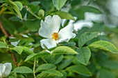 MORTON HALL GARDENS, WORCESTERSHIRE: CLOSE UP OF WHITE, CREAM FLOWERS OF ROSE - ROSA ALBA SEMI - PLENA, CLIMBING, SPRING, MAY