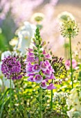 ORDNANCE HOUSE, WILTSHIRE: COMBINATION, ASSOCIATION, ALLIUM PURPLE SENSATION, FOXGLOVES, DIGITALIS CAMELOT ROSE, ALLIUM MOUNT EVEREST, WHITE, PINK, PURPLE, MAY