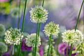 ORDNANCE HOUSE, WILTSHIRE: CLOSE UP OF WHITE FLOWERS OF ALLIUM MOUNT EVEREST, WHITE, MAY, BULBS, SPRING