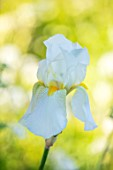 ORDNANCE HOUSE, WILTSHIRE: CLOSE UP OF WHITE, YELLOW, FLOWERS OF IRIS GUDRUN, WHITE, MAY, SPRING