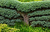 YORK GATE, YORKSHIRE: ESPALIERED CEDAR TRAINED AGAINST WALL, CLIPPED, TOPIARY, HEDGES, HEDGING, JUNE, SUMMER, GREEN