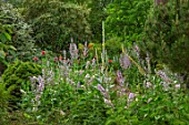 FULLERS MILL GARDEN, SUFFOLK: PERENNIAL, THE DRY BED IN LOW GARDEN, VERBASCUMS, SALVIA SCLAREA VAR. TURKESTANICA, SHADE, SHADY