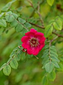 FULLERS MILL GARDEN, SUFFOLK: PERENNIAL, PLANT PORTRAIT OF PINK, RED ROSE, ROSA MOYSII GERANIUM, SHRUBS, FLOWERING, BLOOMING, FRAGRANT, SCENTED, JUNE, SUMMER