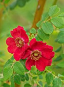 FULLERS MILL GARDEN, SUFFOLK: PERENNIAL, PLANT PORTRAIT OF RED ROSE, ROSA MOYESII, SHRUBS, FLOWERING, BLOOMING, FRAGRANT, SCENTED, JUNE, SUMMER