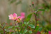 FULLERS MILL GARDEN, SUFFOLK: PERENNIAL, PLANT PORTRAIT OF PINK, RED, PEACH, APRICOT ROSE, ROSA CHINENSIS MUTABILIS, SHRUBS, FLOWERING, BLOOMING, JUNE, SUMMER