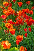 MORTON HALL GARDENS, WORCESTERSHIRE: PLANT PORTRAIT OF ORANGE, RED FLOWERS OF ESCHSCHOLZIA CALIFORNICA MIKADO, ANNUALS, FLOWERING, BLOOMING