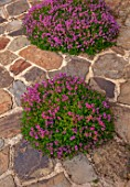 MORTON HALL GARDENS, WORCESTERSHIRE: PATH, PATIO, TERRACE, PAVING, THYME, THYMUS RUSSETINGS, PINK, FLOWERS, FLOWERING, JUNE, SUMMER