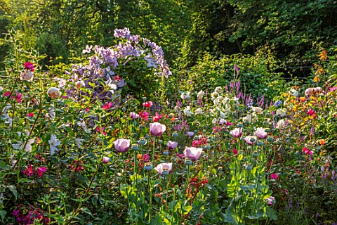 ASHCOMBE_SURREY_COTTAGE_GARDEN_SUMMER_ROSES_JUNE_BORDERS_ARCH_CLEMATIS_HAGLEY_HYBRID_POPPIES_ROSA_LI