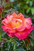 ASHCOMBE, SURREY: PLANT PORTRAIT OF ORANGE, PINK, YELLOW, APRICOT FLOWERS OF ROSE, ROSA JAM AND JERUSALEM, DECIDUOUS, ROSES, JUNE, BLOOMS, BLOOMING, FLOWERING