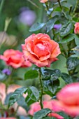 ASHCOMBE, SURREY: PLANT PORTRAIT OF ORANGE, PINK, FLOWERS OF ROSE, ROSA LOUISE CLEMENTS, DECIDUOUS, ROSES, JUNE, BLOOMS, BLOOMING, FLOWERING