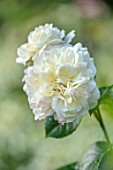 ASHCOMBE, SURREY: PLANT PORTRAIT OF WHITE FLOWERS OF ROSE, ROSA TRANQUILITY , DECIDUOUS, ROSES, JUNE, BLOOMS, BLOOMING, FLOWERING, SCENT, SCENTED, FRAGRANT