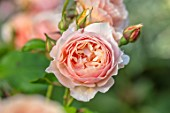 ASHCOMBE, SURREY: PLANT PORTRAIT OF PINK FLOWERS OF ROSE, ROSA QUEEN OF SWEDEN, DECIDUOUS, ROSES, JUNE, BLOOMS, BLOOMING, FLOWERING, SCENT, SCENTED, FRAGRANT, SHRUBS
