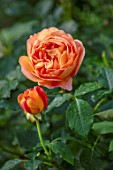 ASHCOMBE, SURREY: PLANT PORTRAIT OF ORANGE FLOWERS OF ROSE, ROSA LADY EMMA HAMILTON, DECIDUOUS, ROSES, JUNE, BLOOMS, BLOOMING, FLOWERING, SCENT, SCENTED, FRAGRANT, SHRUBS