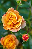 ASHCOMBE, SURREY: PLANT PORTRAIT OF ORANGE, YELLOW, FLOWERS OF ROSE, ROSA LADY OF SHALLOT, DECIDUOUS, ROSES, JUNE, BLOOMS, BLOOMING, FLOWERING, SCENT, SCENTED, FRAGRANT, SHRUBS